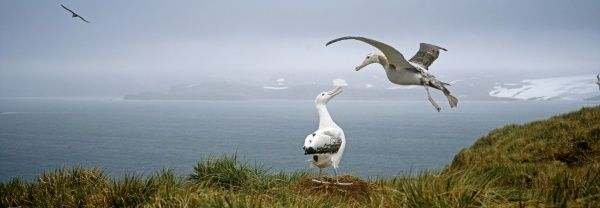 Wandering Albatross, Diomedia exulans, pair, Albatross Island, Bay of Isles, South Georgia, January