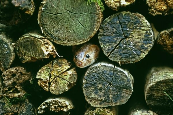 Weasel, Mustela nivalis, peering from log pile, UK