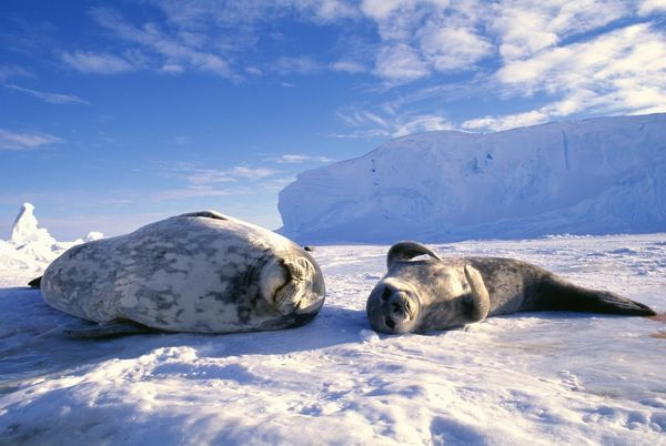 Weddell Seal, Leptonychotes weddelli, mother & young pup, Weddell Sea, Antarctica, October