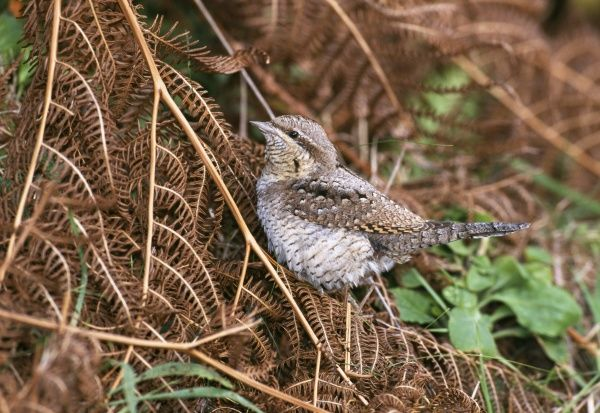 Wryneck, Jynx torquila, migrant, St Mary's, Isles of Scilly, October