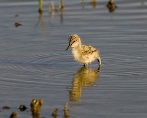 avocet chick minsmere may