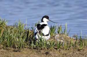 avocet chick scrape minsmere may