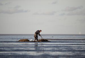 Bait digging on mudflats of The Wash off Snettisham Norfolk winter