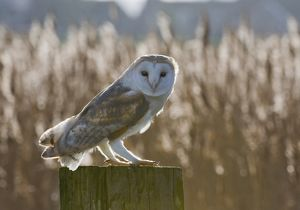 Barn Owl Tyto alba Cley Norfolk winter