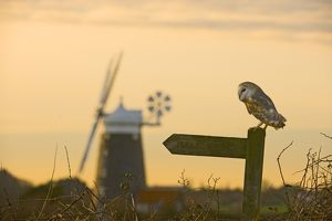 Barn Owl Tyto alba Cley North Norfolk winter