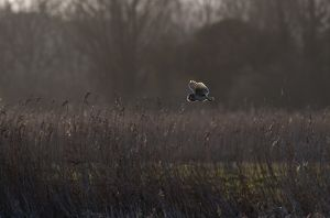 Barn Owl, Norfolk, UK