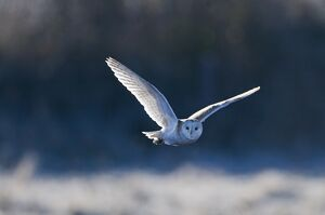 Barn Owl Tyto alba hunting over frosty meadow Norfolk January