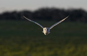 Barn Owl Tyto alba hunting North Norfolk December