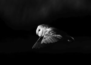 Barn Owl tyto alba hunting North Norfolk January