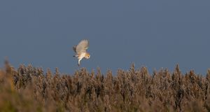Barn Owl Tyto alba hunting over reedbed Cley Norfolk winter