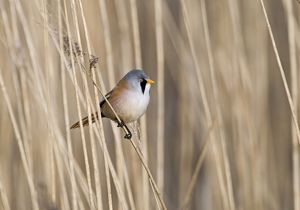 Bearded Tit Panurus biarmicus in reeds Cley Norfolk spring