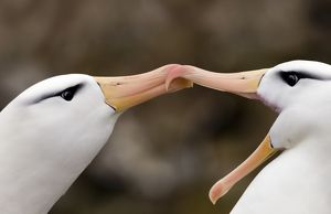 Black-browed Albatross Thalassarche melanophrys pair in courtship display New Island
