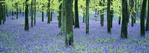 Bluebells and Beech woodland, Buckinghamshire, UK, April