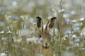 Brown Hare Lepus europaeus in meadow in summer Norfolk UK