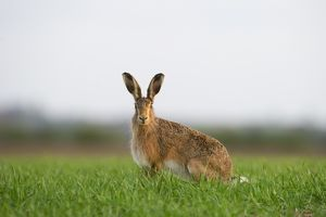 Brown Hare Leus europaeus Norfolk spring