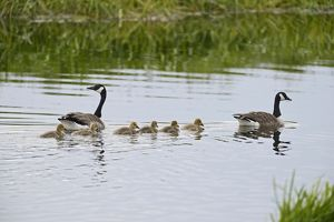 Canada Geese Branta canadensis with family of goslings Norfolk summer