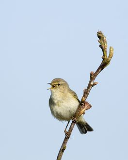 Chiffchaff Phylloscopus collybita in song Cley Norfolk April