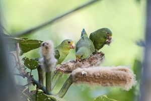 Cobalt-winged Parakeets Brotogeris cyanoptera feeding on seeds Tambopata Peru