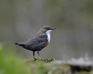 Dipper Cinclus cinclus Derbyshire April UK
