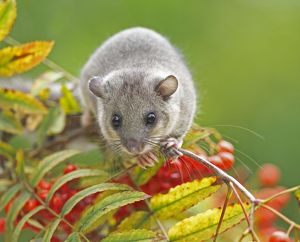 Edible Dormouse Glis glis Buckinghamshire, UK