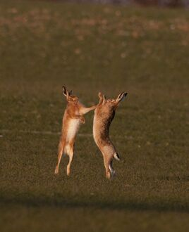 European Brown Hare boxing in spring Norfolk March