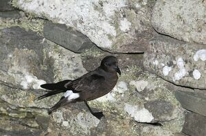European Storm Petrel Hydrobates pelagicus at nest site on Mousa Broch Mousa Shetland