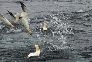 Gannets Sula bassana diving for mackerel off Shetland June