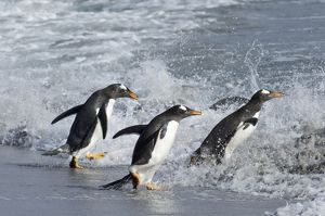 Gentoo Penguins Pygoscelis papua entering sea on Sea Lion Island Falklands