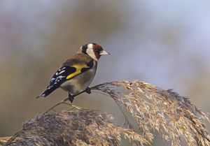 Goldfinch perched on reed stem in autumn UK