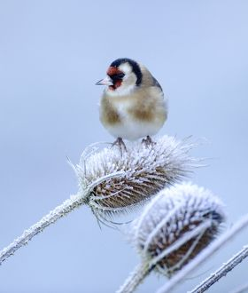 Goldfinch on teasel on frosty winters morning in garden Kent UK