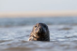 Grey Seal Halichoerus grypus Blakeney Point Norfolk autumn