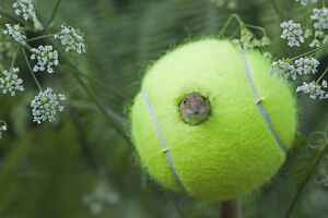 Harvest Mouse Micromys minutus using tennis ball as nest on nature reserve Norfolk June