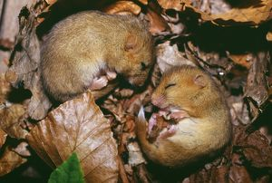 Hazel Dormice, Muscardinus avellanarius, sleeping, Kent, UK, autumn