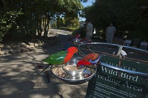 King Parrot and Crimson Rosella at O'Reilly's feeding station in Lamington