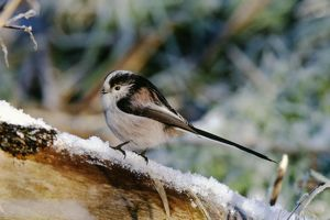 long tailed tit aegithalos caudata winter uk