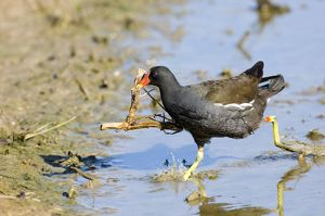 moorhen carrying nest material uk may