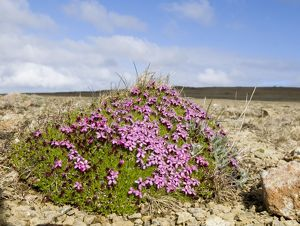 Moss Campion growing on Keen of Hamar NNR Unst Shetland Scotland May