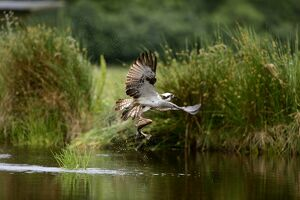 Osprey Pandion haliatus fishing Inverdruie Fish Farm Speyside Scotland July