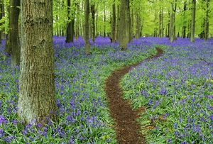 path bluebell wood chilterns bucks uk april