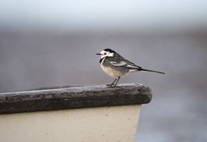 Pied Wagtail Motacilla alba male in winter plumage Norfolk December