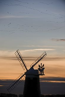 Pink footed Geese Anser brachyrhynchos skeins flying to roost at dusk over windmill