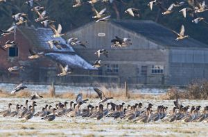Pink-footed Geese Anser brachyrhynchus at Holkham Norfolk January