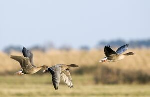 Pink-footed Geese Anser brachyrhynchus North Norfolk January