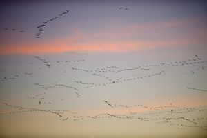 Pink-footed Geese Anser brachyrynchus leaving roost at Snettisham Norfolk winter