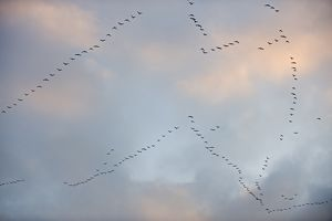 Pink-footed Geese Anser brachyrynchus leaving roost on the Wash at Snettisham Norfolk