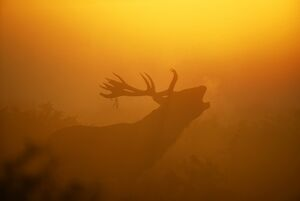 Red Deer, Cervus elaphus, stag calling at dawn, autumn, UK