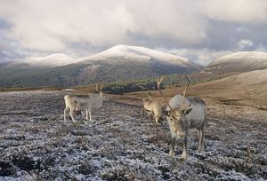 Reindeer on Cairngorm Scottish Highlands winter