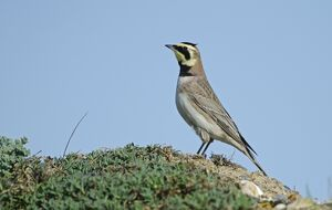 Shore Lark Eremophila alpestris Cley Norfolk winter