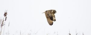 Short-eared Owl Asio flammeus Welney Norfolk Feb