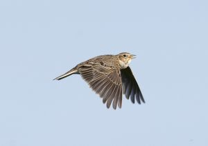 Skylark Alauda arvensis in song flight Norfolk spring